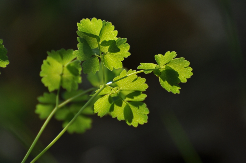 meadow rue leaves