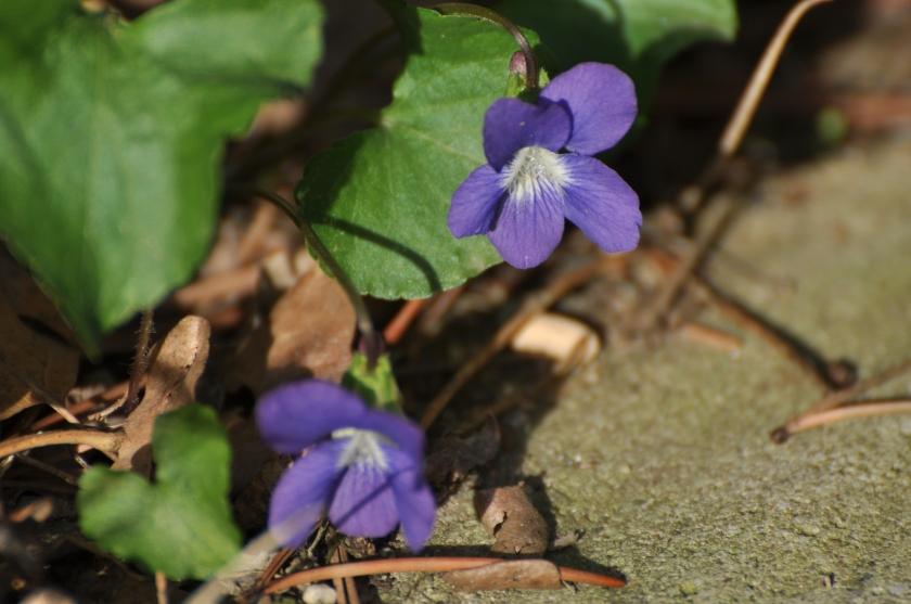 violets under the deck