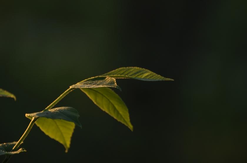 sunset on leaves