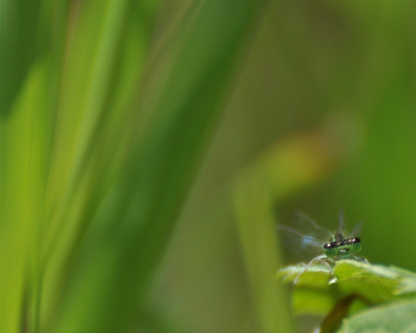 a damselfly in summer
