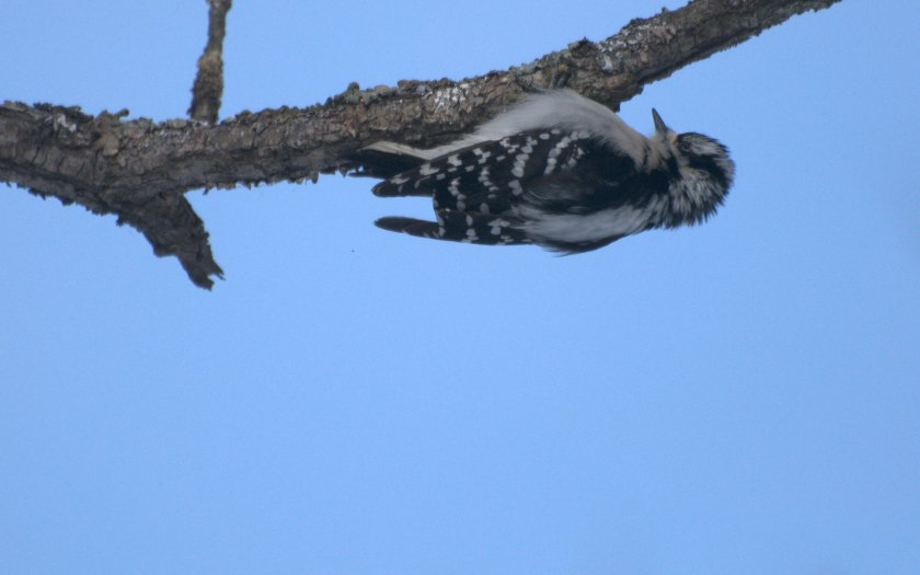 winter woodpecker upside down