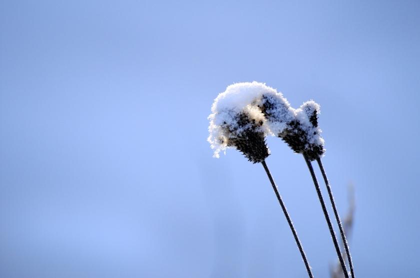 frosty brambles