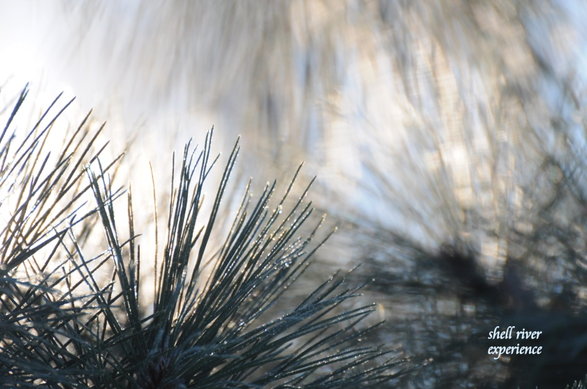red pine at 23 below