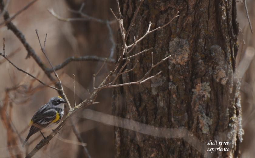 yellow rumped warbler blog